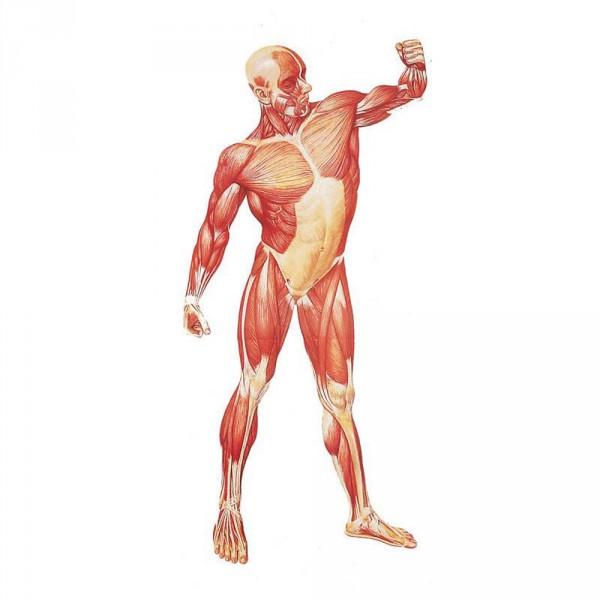 poster 'De menselijke spieren', vooraanzicht, 84 x 200 cm
