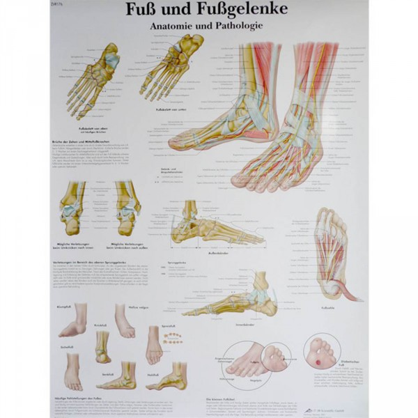poster 'De voet en de gewrichten in de voet', 50 x 67 cm