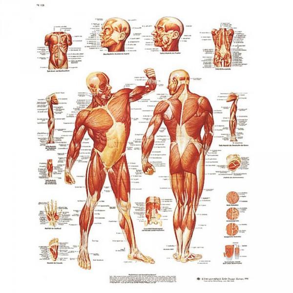 poster 'De menselijke spierbanen', 50 x 67 cm