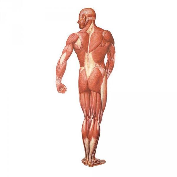poster 'De menselijke spieren', achteraanzicht, 84 x 200 cm